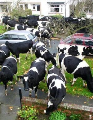 cows in city