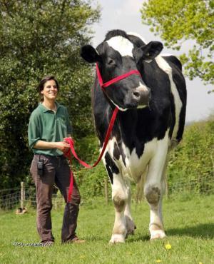 biggest cow