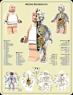 anatomielego