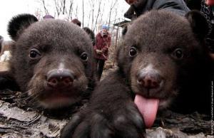 Himalayan bears