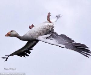 ptaci akrobat