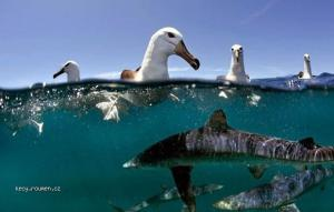 Albatrosses above dozens of hungry sharks
