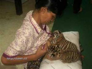 krmeni tygratek