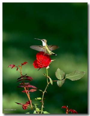 Hummingbird and Rose II