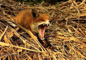 X Fox