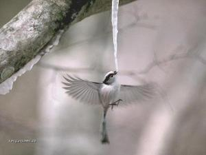 ptaci zmrzlinka