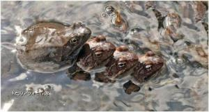Frogs gang bang