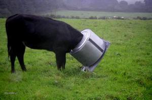 pancerova krava