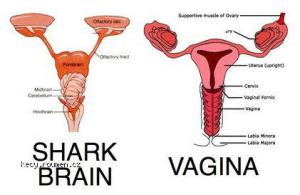 shark vs vagina