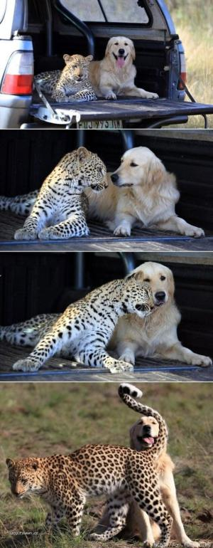 Leopard and the golden retriever who are best friends