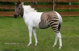 zebro kun