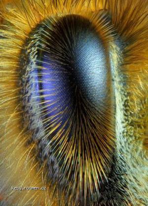 Mikrokosmos  oko vcely