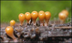 slime molds 9