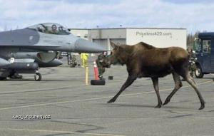 Warning Moose on the Runway