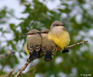 Western Kingbird Babies