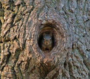 Squirrel cavity