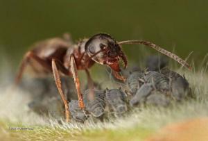 mravenci pochutka