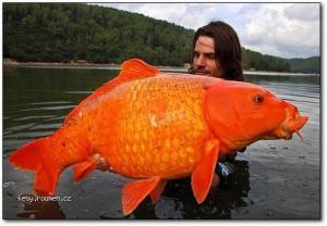 zlata rybka 1