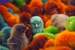 colored chicks