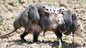 opossum mum