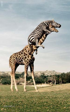 scared zebra