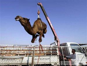mechanizace velbloudu