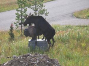 horny moose4