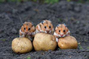 zlodeji brambor