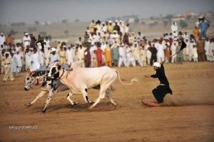 Picture of the day Bull races in the village of Islamabad