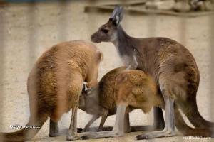 Australska trojka
