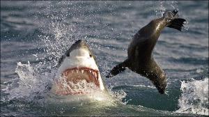 shark vs seal