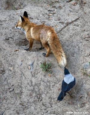 bajka o lisce a vrane