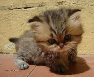 kote s velkou hlavou