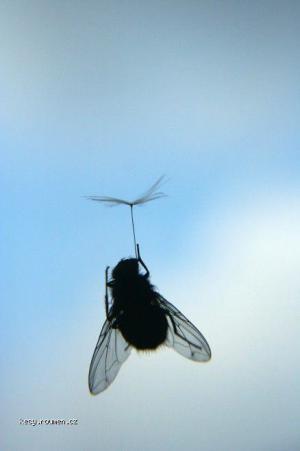 moucha parasutista