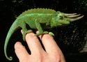 Chameleon - změna barvy