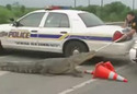 Policie vs. Aligator