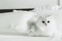 Šílená bílá kočka