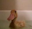 Domácí mazlíček Mervin - kačer
