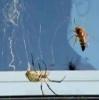 Pavouk vs. vosa