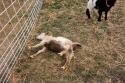 Vylekané kozy