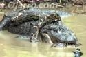 Aligátor vs. had