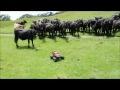 Krávy na dálkové ovládání