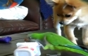 Pes a papoušek - souboj