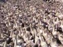 Ptačí invaze