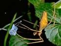 Biologie - Pavouci - rod Dinopis