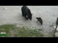 Odvážná kočka vs. Zvědavý medvěd