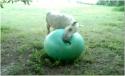 Zvířátka - Hravé hříbě s míčem