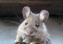 Nejchytřejší myš na světě