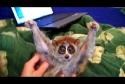 Lemur má rád drbání