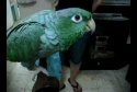 Papoušek imituje dětský pláč